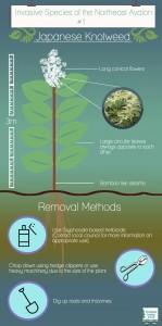 Jap Knotweed info + removal (1)